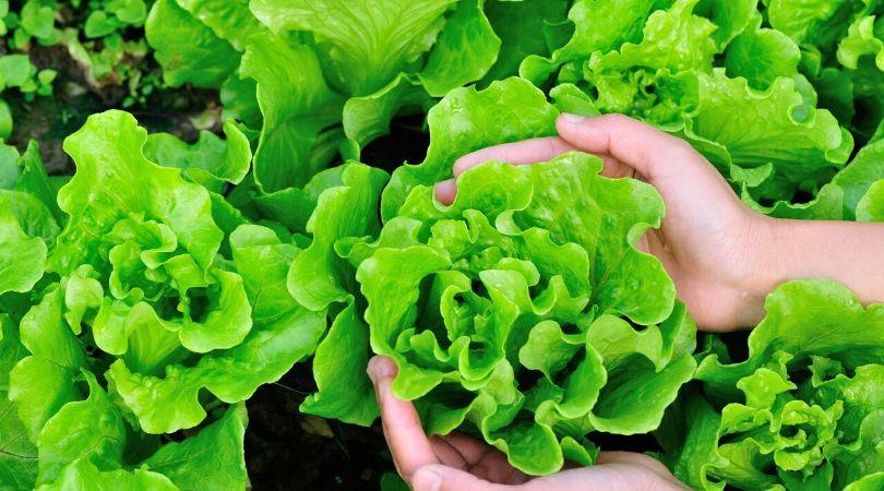 grow new food lettuce