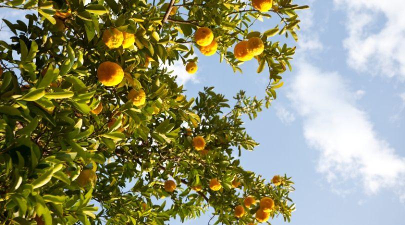grow new food lemons